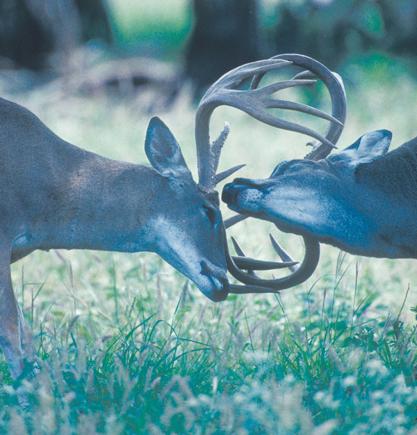 Whitetail deer locking antlers