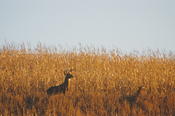 Whitetail deer in cornfield