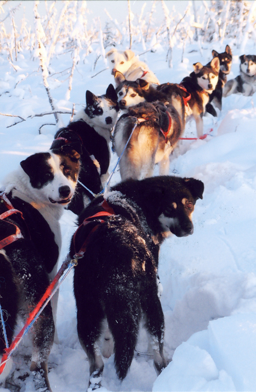 alaskan mushing dog sled team