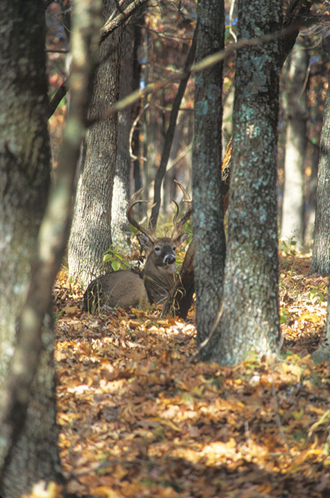 Whitetail deer bedded down