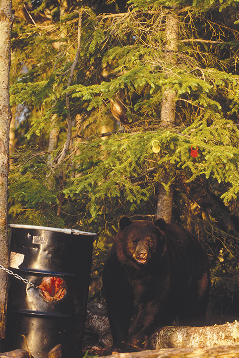 bear at a bait station