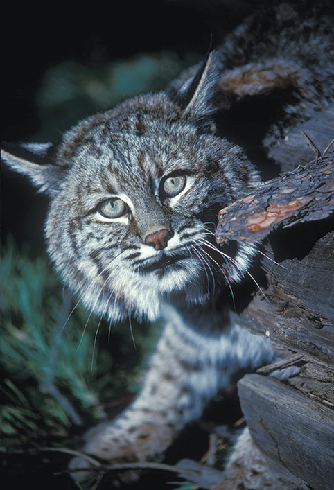 beautiful high dollar bobcat